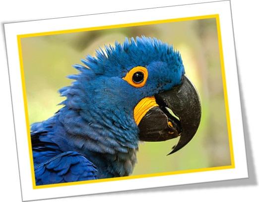pássaro silvestre ararinha azul com penas arrepiadas, bird ruffles its feather