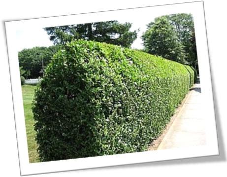 hedge, cerva viva feita de sebe viva