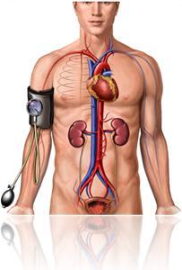 anatomia do corpo humano, coração, rim, pressão do sanguínea, sistema circulatório