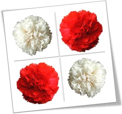 white carnation, cravo branco, red carnation, cravo vermelho, dia das mães