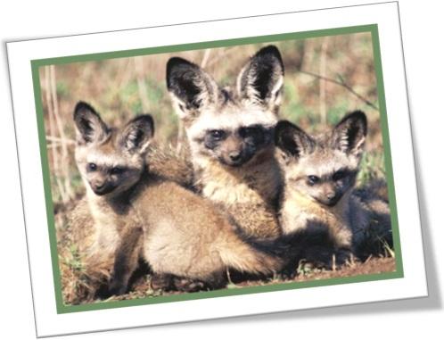 raposa orelha de morcego com seus filhotes