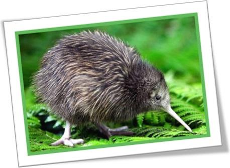 kiwi bird, quivi, quiuí