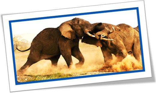 bull elephant, luta de elefantes machos