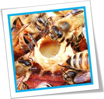 geleia real, royal jelly, abelhas, colmeia