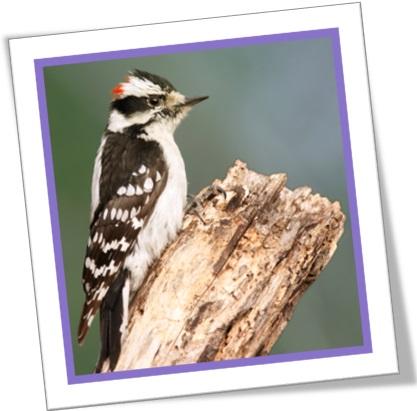 pica-pau felpudo, downy woodpecker, pássaro, passarinho
