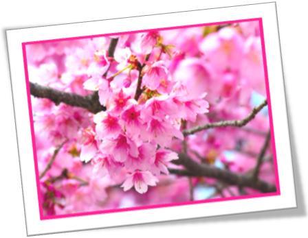 cherry blossom, flores de cerejeira, botânica, flôres