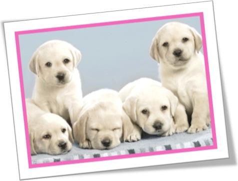 a litter of Labrador puppies, ninhada de filhotes de cão labrador