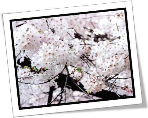 tree in bloom, tree covered with bloom, árvore em flor