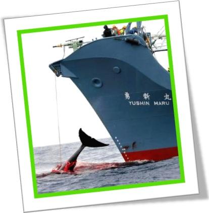caça baleia japonês, whale killing, navio baleeiro do japão