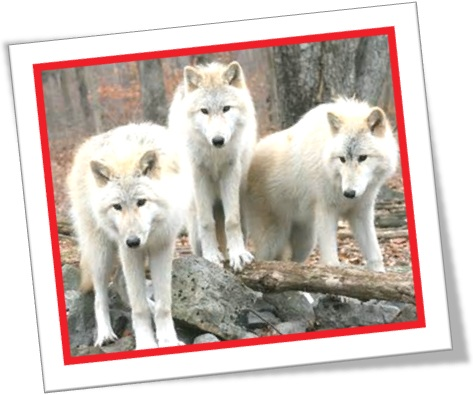 a pack of white wolves, matilha de lobos brancos