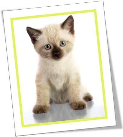 filhote de gato siamês, siamese kitten, gatinho