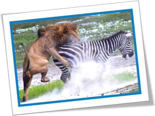 leão atacando zebra a sudden spring, lion, zebra, prey