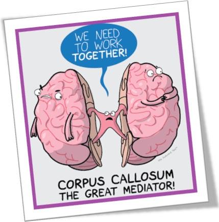 corpus callosum corpo caloso cérebro hemisfério direito esquerdo