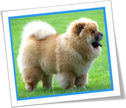 cachorro cão dog raça chow chow língua azul peludo