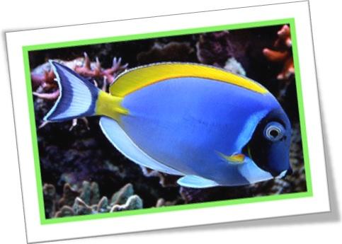 powder blue tang peixe cirurgião azul acanthurus leucosternon peixe ornamental aquário