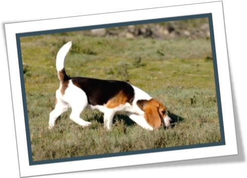 dog sniffing, dog questing, cão farejando, cachorro beagle