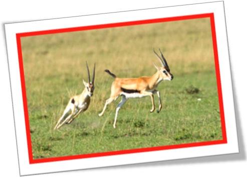 gazelas, gazelle, africa, savana, lion chasing gazelles, wild life