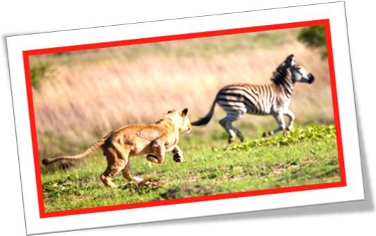 leoa caçando zebra, lion chasing zebra, wild life, africa