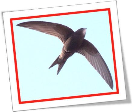 pássaro, passarinho, swift bird andorinhão ornitologia, ornitólogo, voo de pássaro