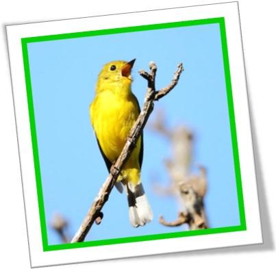 canário cantando canário canto trinado, trilo passarinho