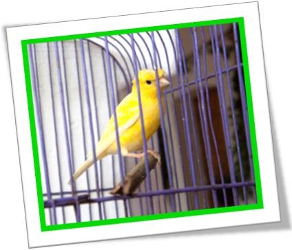 passarinho pássaro canário preso na gaiola bird canary in its cage