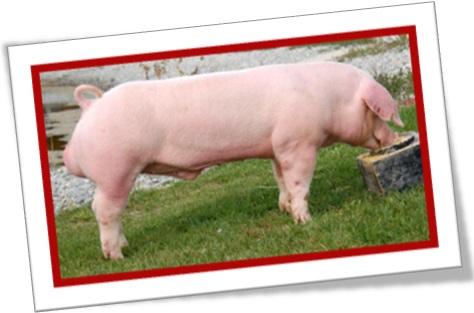 chester white, branco de chester, porco, leitão, fazenda