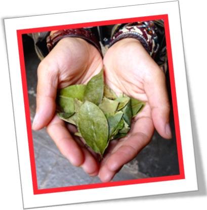 coca leaves, coca bush, folhas de coca, arbusto de coca