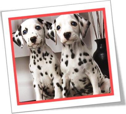 cachorro cão filhote dálmatas dogs dalmata frolicker