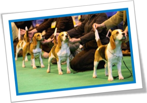 pedigree dogs, dog show, cães de raça, puro sangue, concurso