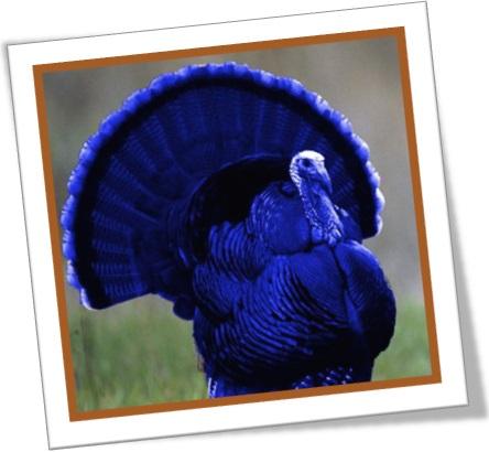 bubbly-jock, peru macho, ave natalina, ceia de natal, ação de graças, blue turkey