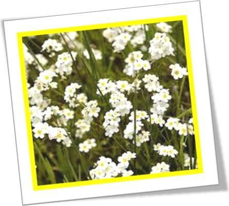 popcorn flower, flor de pipoca, estados unidos, plantas, Plagiobothrys nothofulvus