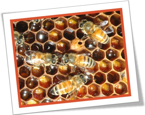 worker queen drone bee hive abelhas operária, rainha, zangão
