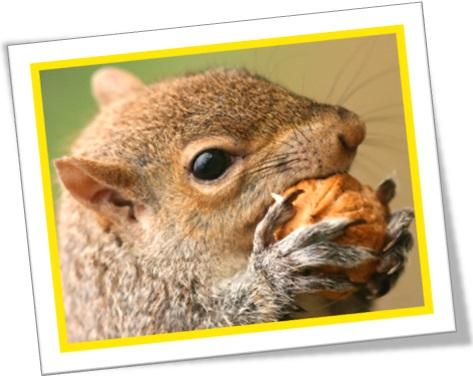 esquilo comendo nozes, a hard nut to crack, osso duro de roer