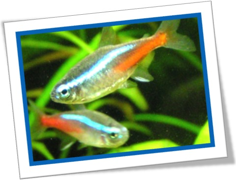 tetra neon, neon tetra, peixe, aquário, ornamental, peixinho