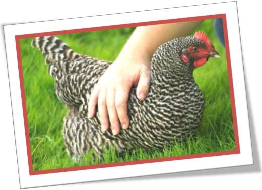 nomes em inglês, galinha dominique, dominique hen, aves, galináceos