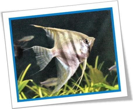 peixe de aquário, angelfish, acará-bandeira, peixe-anjo, pterophyllum scalare