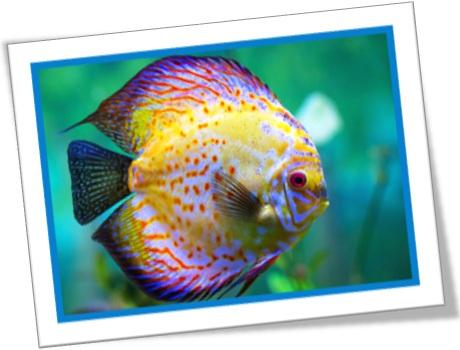 peixes ornamentais, discuses, acarás discos, symphysodon, aquário, animal, cichlid