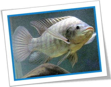 tilápia, tilapia mariae, peixe, animal, aquário, psicultura, peixe de rio