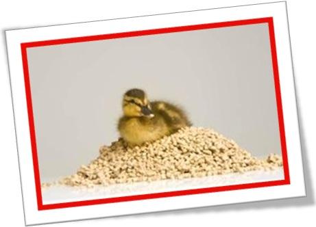 patinho sobre pilha de ração, alimento, comida para patos