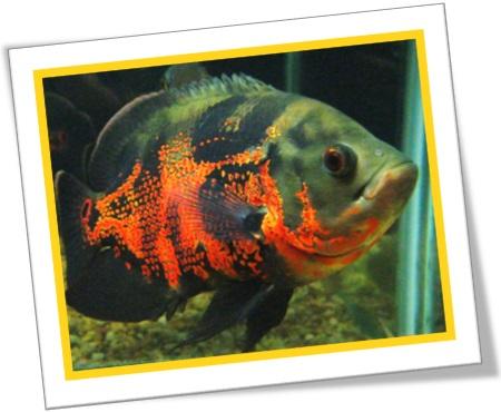 oscar peixe ornamental carnívoro, oscar fish, south america