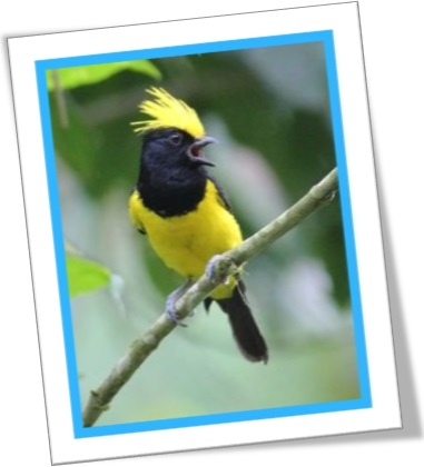 yellow crest, pássaro silvestre macho, passarinho, natureza, ave, naturaleza