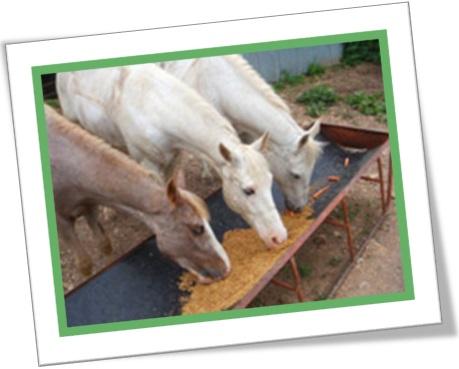 horses eat oats, cavalos comendo aveia, cavalos e éguas