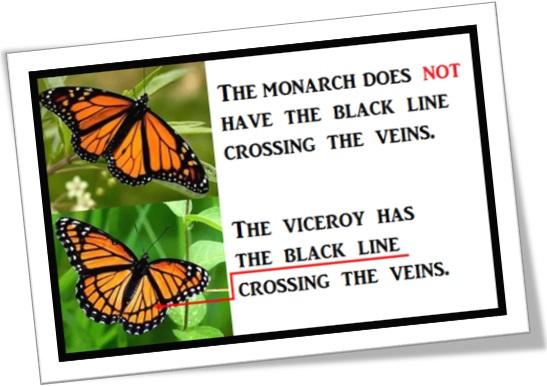 monarch butterfly, viceroy butterfly, borboleta monarca, borboleta vice rei