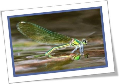 donzelinha, libelinha, libélula, donzelo, demoiselle, lavadeira, damselfly