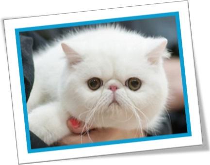 gato branco, animal de estimação, gato fofinho, fluppy cat, pet