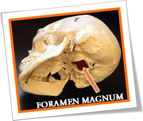 foramen magum, forame magno, anatomia, caveira, human skull