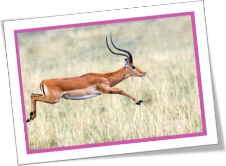 impala, antílope africano, mamífero, quadrúpedes, chifre, mamífero, corredor