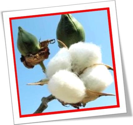 cotton boll, capucho, capulho, casulo, cápsula de algodão